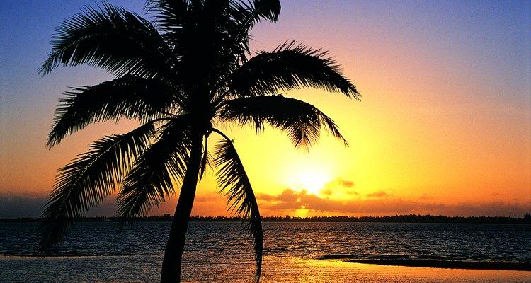 A rabo-de-raposa é uma espécie de palmeira que cresce em clima tropical ou subtropical