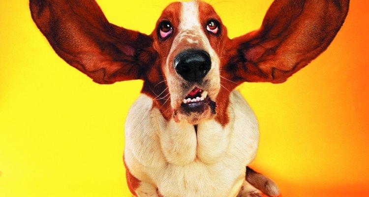 As orelhas dos cães são delicadas e várias doenças podem causar desconforto