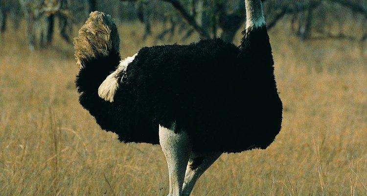 Las avestruces ponen los huevos más grandes del mundo.