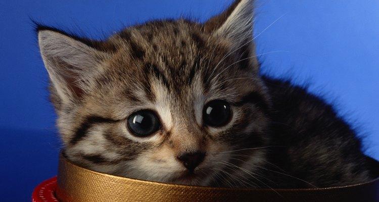 Maneja con cuidado el gatito y dale mucho amor para que aprenda a aceptar y confiar en los seres humanos.
