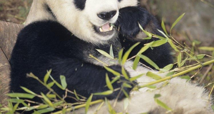 Los pandas tienen distintivos ojos bordeados, oídos y piernas de color negro.