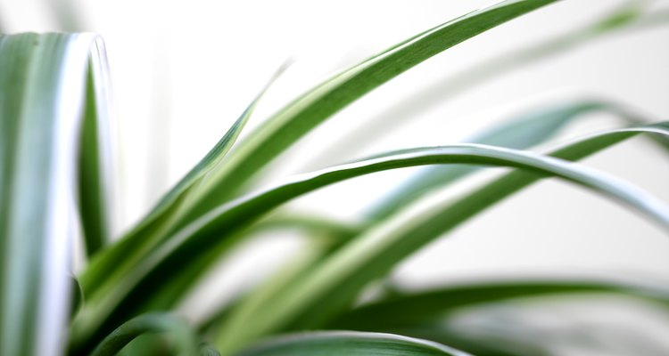 The spider plant makes an attractive, low maintenance planting, indoors or out.