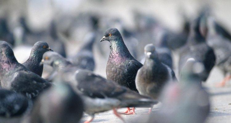 Pombos machos não tem orgãos sexuais externos