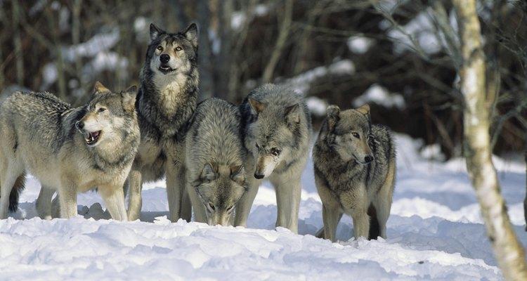 Lobos formam alcateias