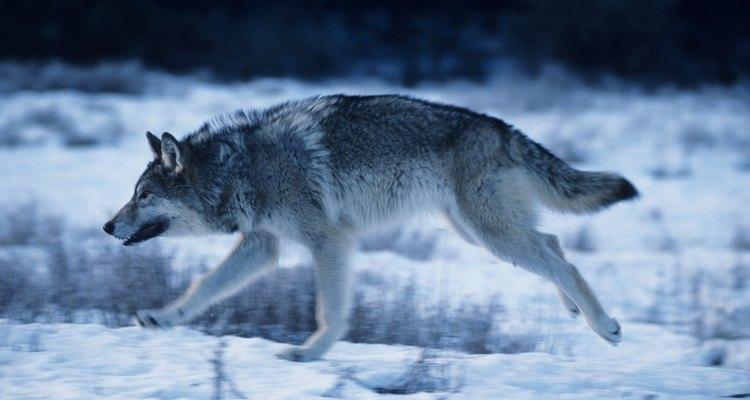 Um lobo cinza é mais comprido que um coiote