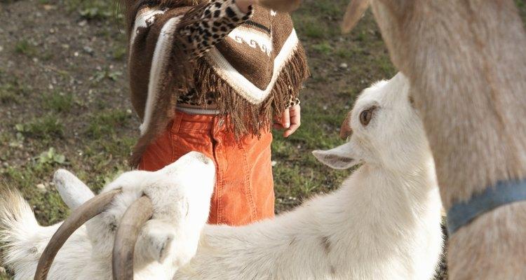 A diarreia pode matar filhotes de cabras