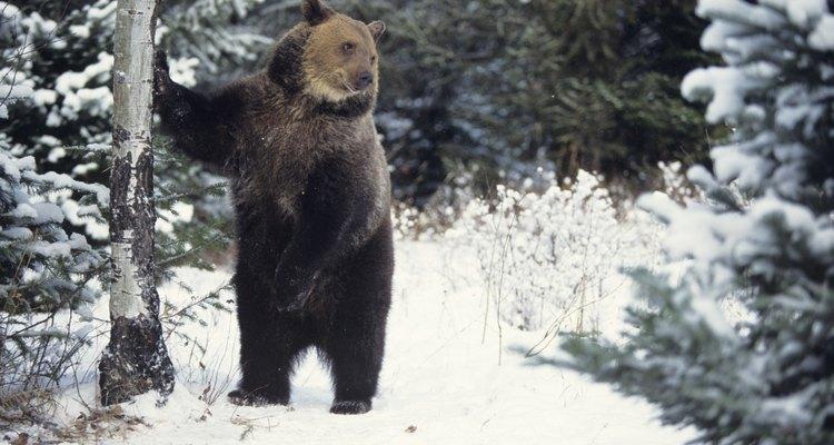Los osos pardos también son muy afectados.