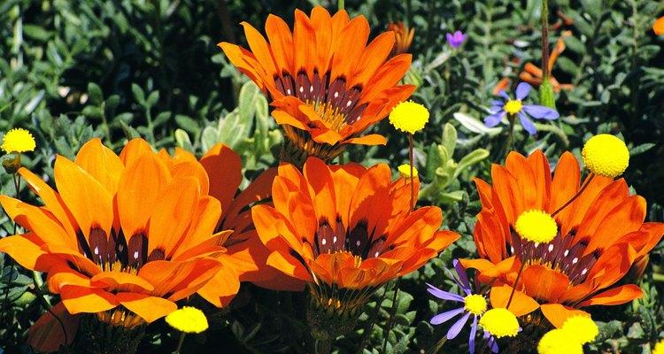 Las gazanias no crecen mucho pero ofrecen flores grandes en primavera y en verano.