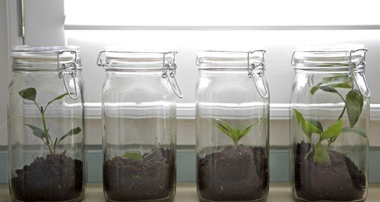 Ash tree saplings in canning jars