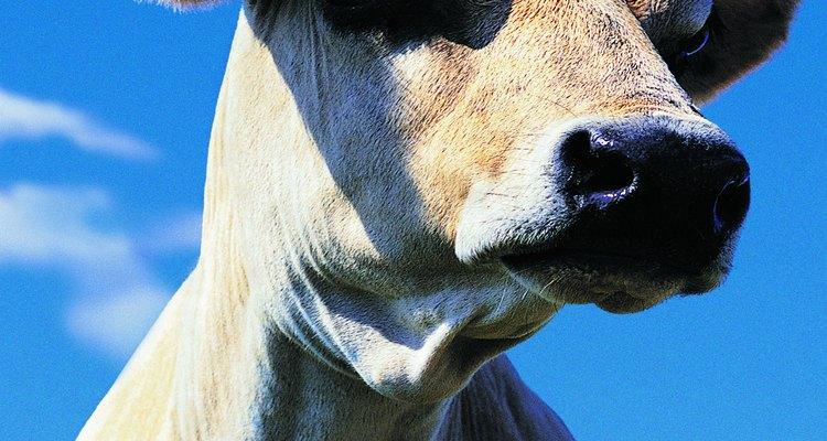 Las vacas tienen una gestación de aproximadamente nueve meses.