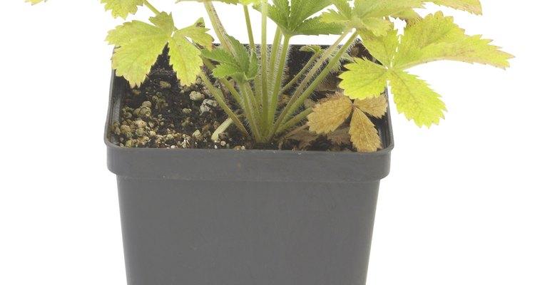 Las flores macho y hembra de la planta del cáñamo usan la resina como una barrera protectora.