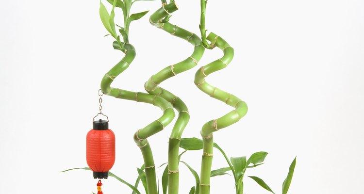 Com um truque simples é possível aprender a cultivar um bambu curvilíneo em casa