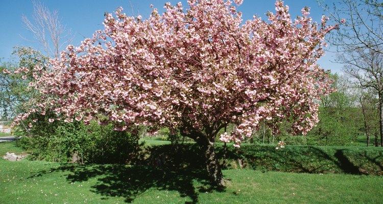 Los arboles de cereza son tan populares con la fruta misma.