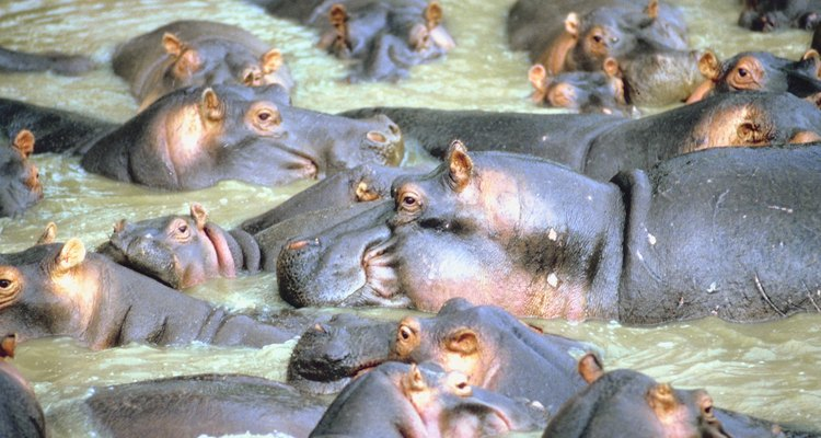 Reproductive System of the Hippo