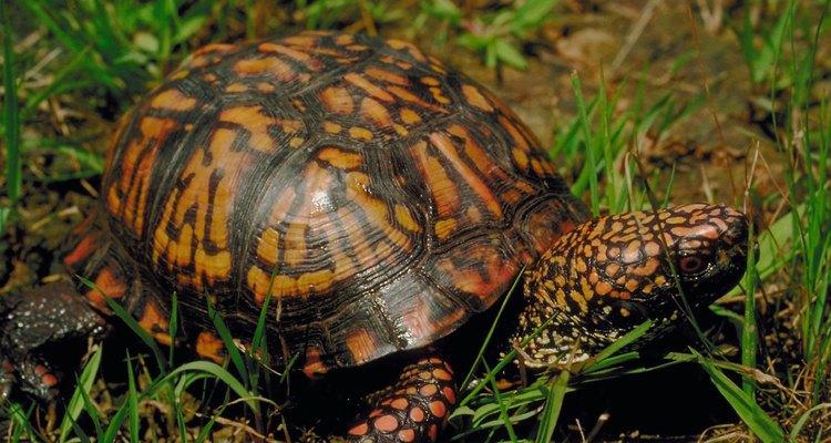 Geralmente, quando as tartarugas fogem elas encontram um esconderijo nas proximidades