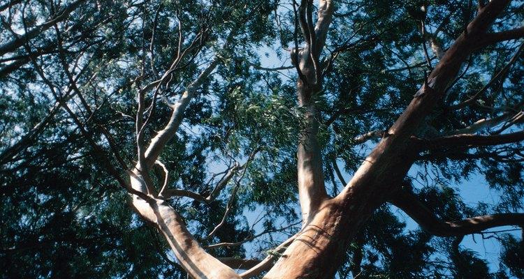 El aceite de los árboles de eucaliptos tienen muchos propósitos.
