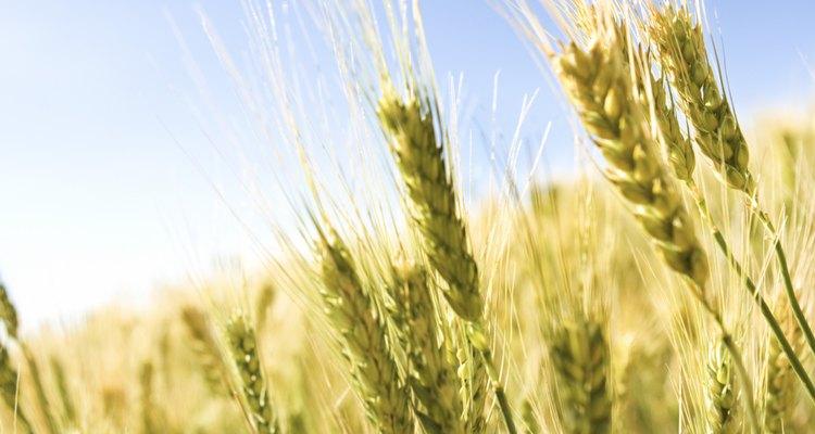 Los gorgojos se alimentan de productos de trigo.