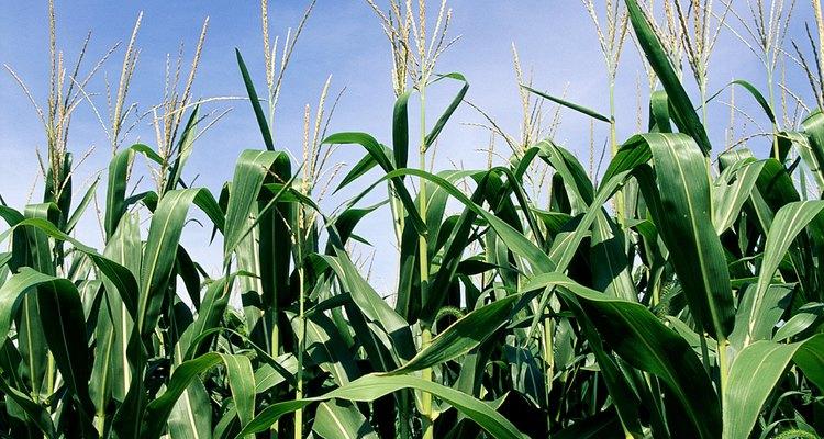 Los mayas creían provenir del maíz.