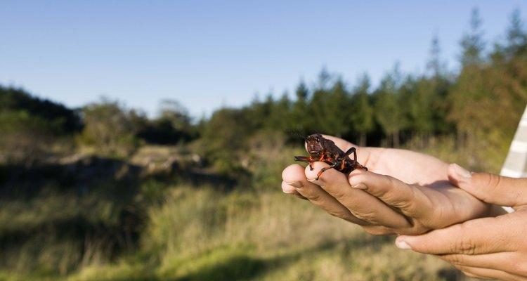Os gafanhotos possuem vários predadores naturais
