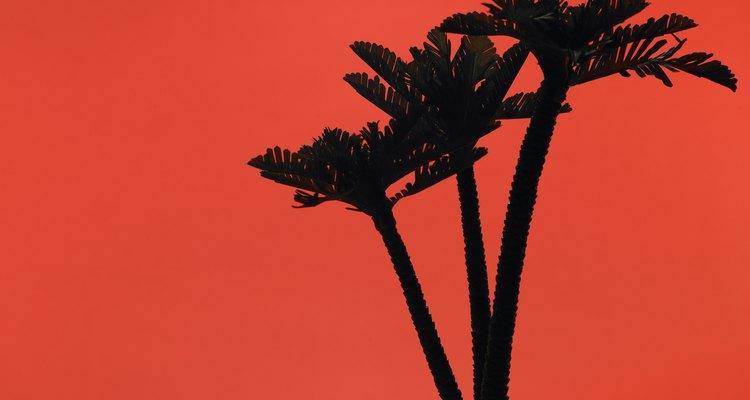 La palmera Roebelenii Phoenix crece mejor en climas cálidos o zonas de Fortaleza 9 y 10.