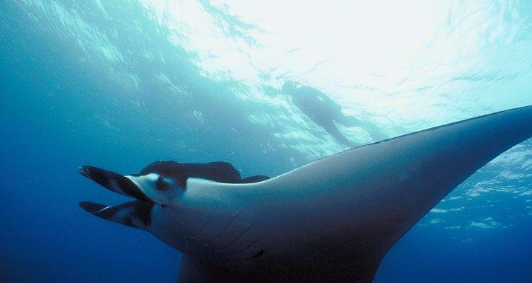 Las mantarrayas son grandes peces que rondan las aguas cálidas tropicales de la Tierra.