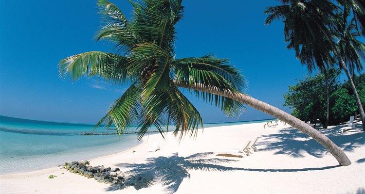 Estresse ambiental ou doença pode causar a queda de uma palmeira
