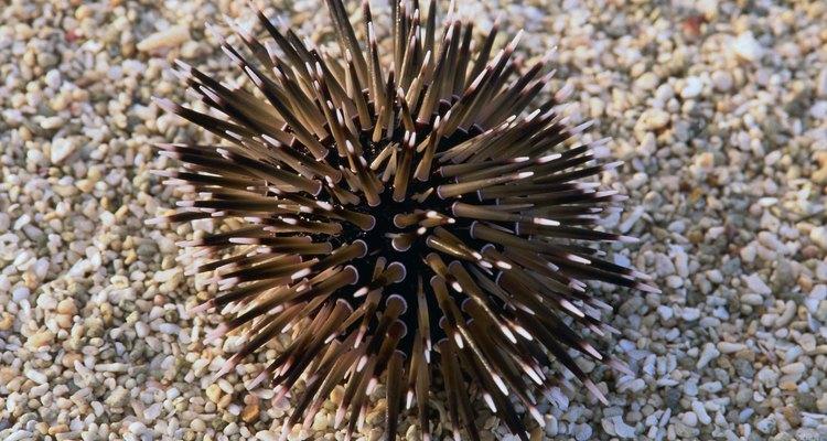 Ouriço-do-mar