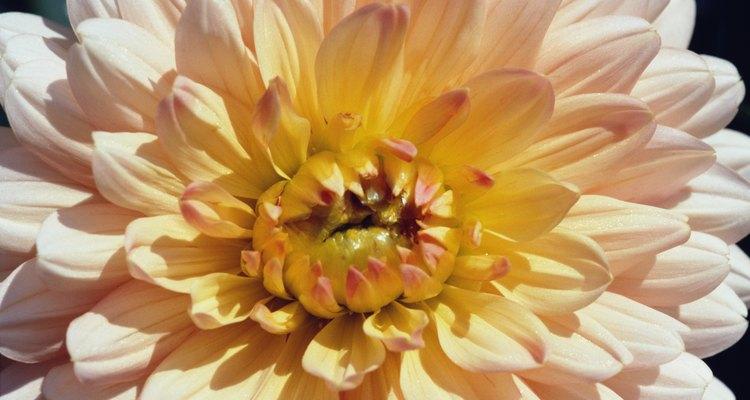 Los crisantemos contienen un químico que mata a los insectos que vuelan.