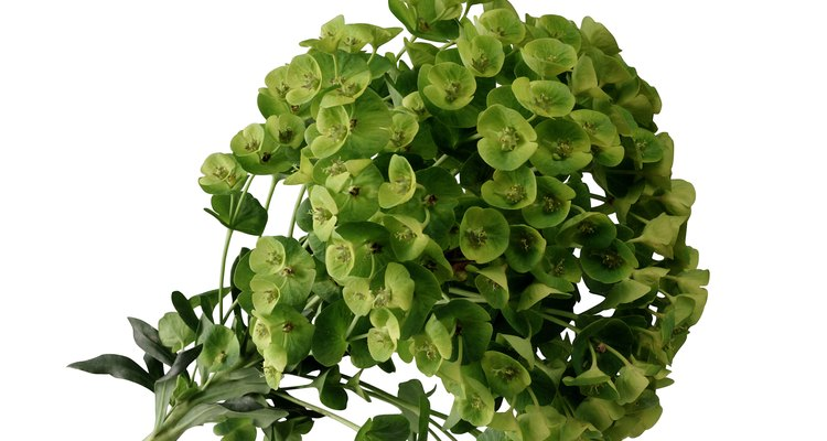 Euphorbia is a valuable addition to a Mediterranean-style garden.