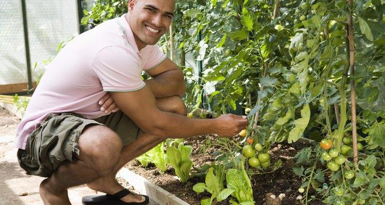 Los tomates se cultivan mejor con cantidades moderadas de fertilizante balanceado.