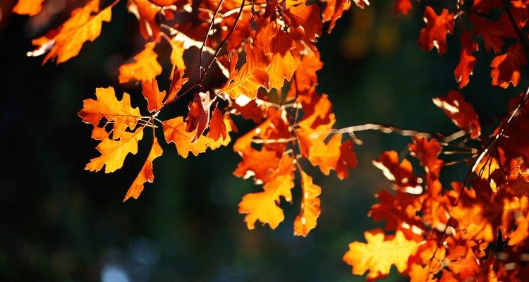 Roble en otoño.