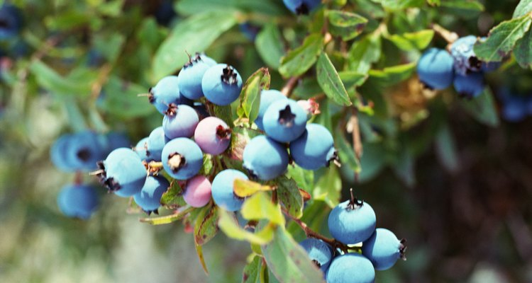 This is a good example of a healthy blueberry plant.