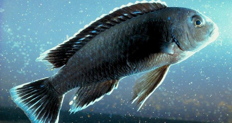 Avalie cuidadosamente a presença de vazamentos no seu aquário antes de adicionar peixes