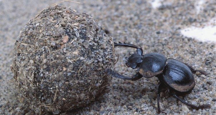 A Índia tem uma grande população de besouros dermestes