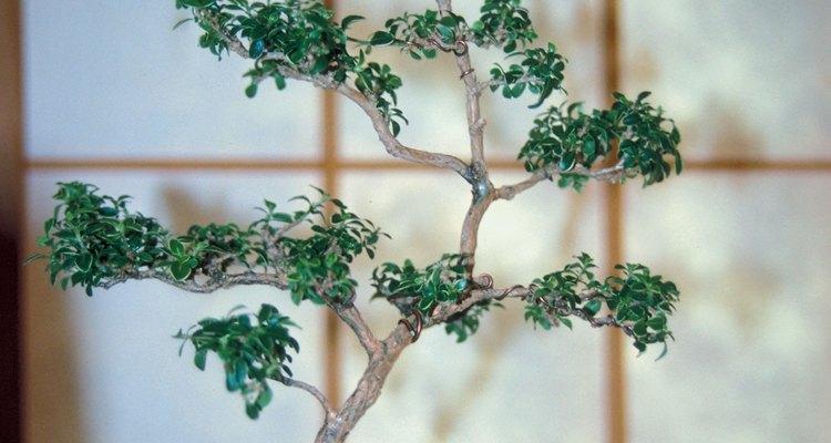 Las plantas bonsai Serissa pueden amoldarse mientras crecen.