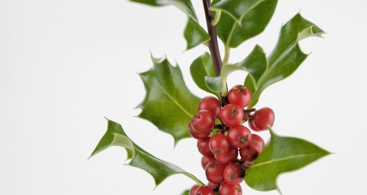 Holly leaves should be dense and glossy.