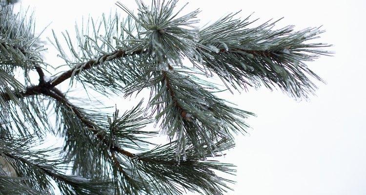 Cogumelos do pinheiro têm um relacionamento simbiótico com as raízes dessas árvores