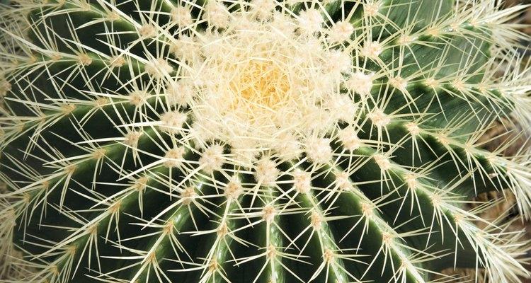 Los cactus lucen muy bien en exteriores e interiores.