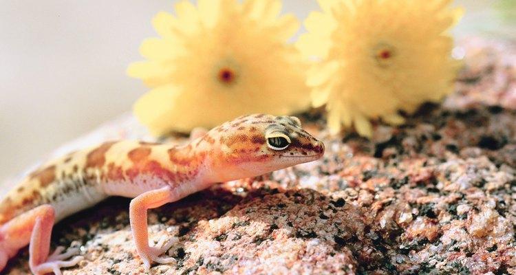 Uma lagartixa provavelmente só comerá grilos vivos