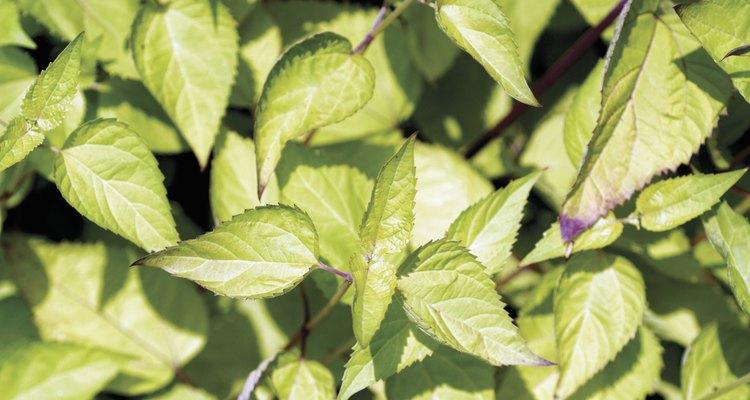 Manchas brancas nas folhas do manjericão