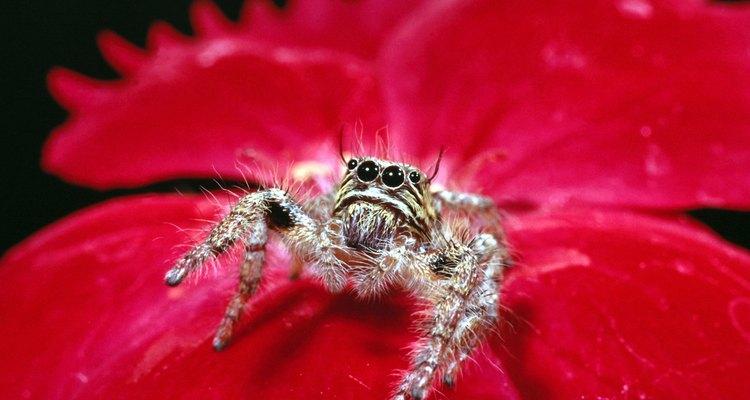 Las arañas saltadoras frecuentemente tienen marcas rojas y amarillas.