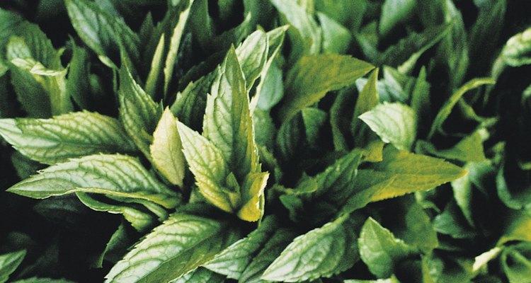 Las hojas de menta son seguras para los perros y las personas.
