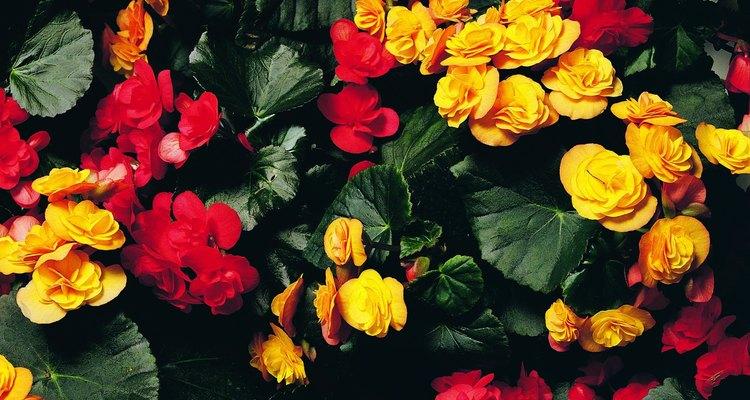 Las begonias cultivarse durante todo el año.