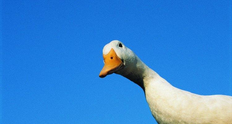 Beware of the goose.