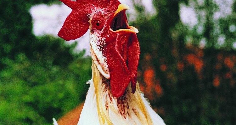 Adicione algumas galinhas para o bando