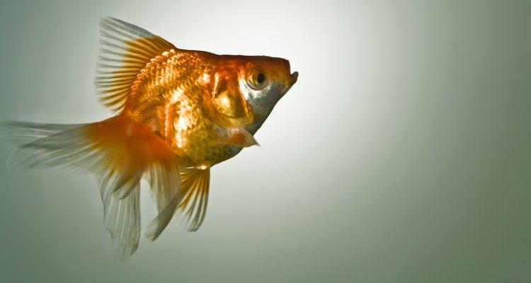 Los peces dorados fueron criados a partir de la carpa común.
