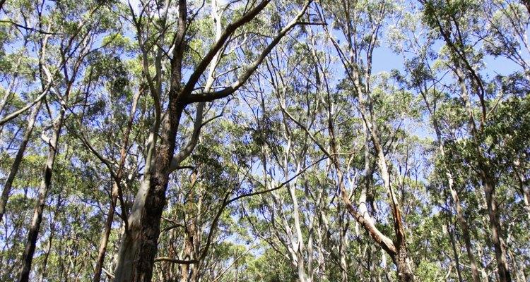 Los eucaliptos son una de las especies más plantadas en las praderas.