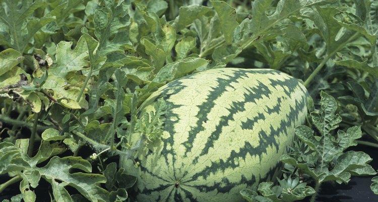 Como un vegetal de estación cálida, la sandía se desarrolla durante los meses de verano, cuando las temperaturas son más altas.