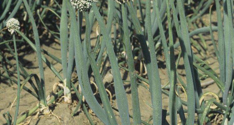 El ajo silvestre creciendo en tu patio puede ser aromático, pero es considerado una maleza.