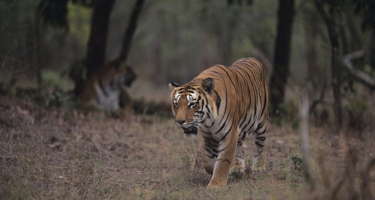 Um tigre (Panthera tigris) em uma floresta tropical sazonal perto de Rajasthan, na Índia
